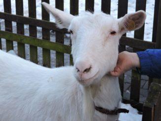 ... oder Ziegen können gesehen oder gestrichelt werden.